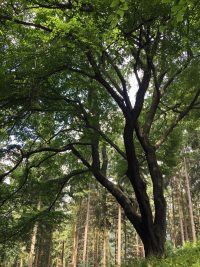 Naturdenkmal Kollsbuche