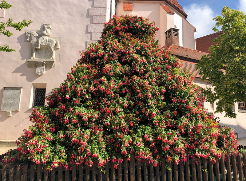 Fuchsienpyramide in Wemding