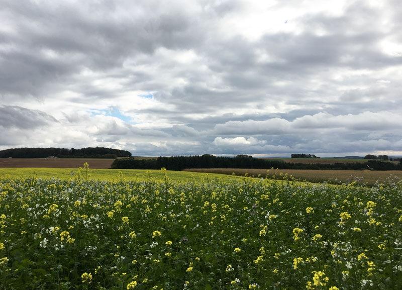 Rapsfeld im Herbstwind